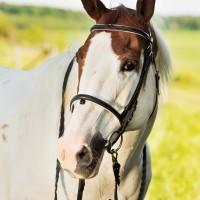 Portrait de cheval d'hippothérapie – Lucky