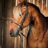 Portrait de cheval d'hippothérapie – Belle