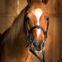 Portrait de cheval d'hippothérapie – M. Oui