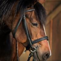 Portrait de cheval d'hippothérapie – Mousse