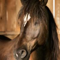 Portrait de cheval d'hippothérapie – Gédéon