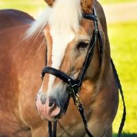 Portrait de cheval d'hippothérapie – Fiona