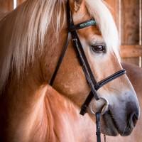 Portrait de cheval d'hippothérapie – Olaf