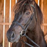 Portrait de cheval d'hippothérapie – Moogly