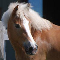 Portrait de cheval d'hippothérapie – Gypsie