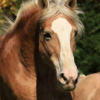 Portrait de cheval d'hippothérapie – Loupie