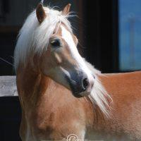 Portrait de cheval d'hippothérapie – Wallee
