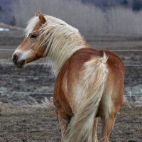 Portrait de cheval d'hippothérapie – Gimli