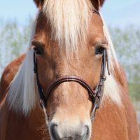 Portrait de cheval d'hippothérapie – Okella